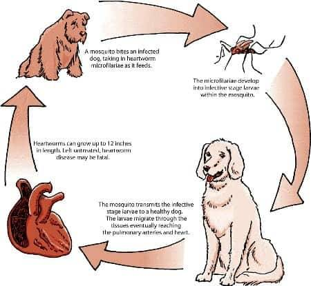 Srčani crv kod pasa simptomi